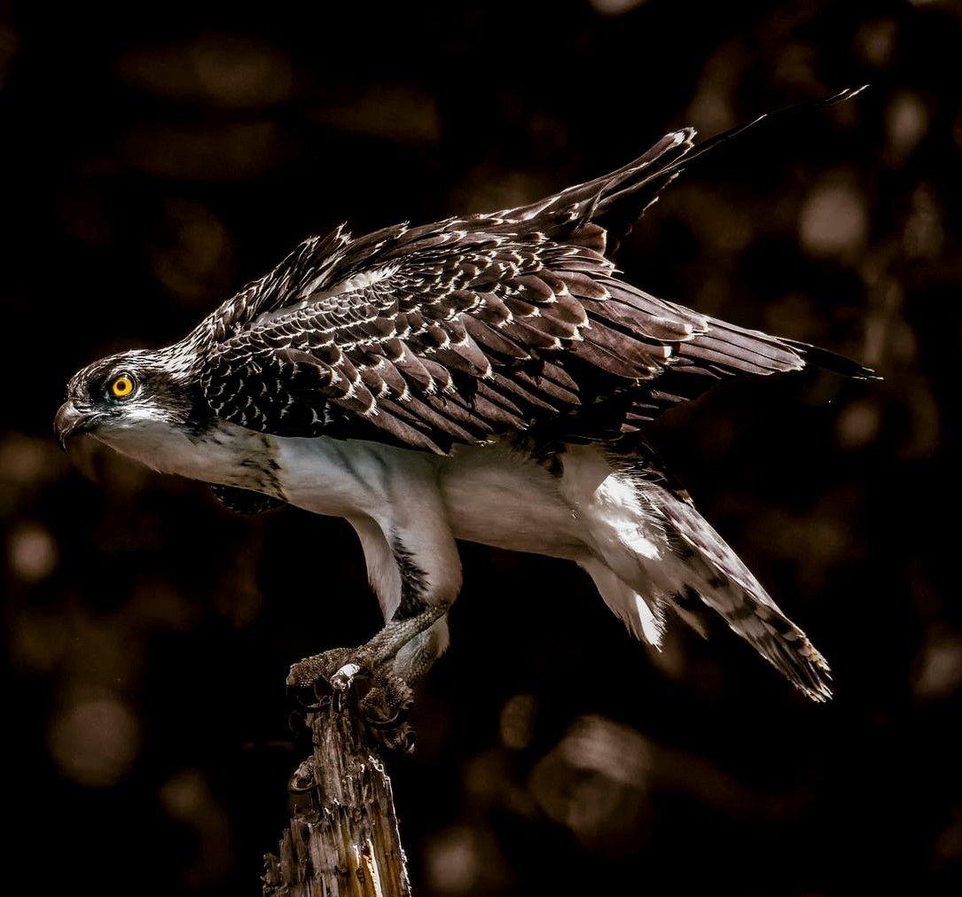 Trae Young y sus halcones
